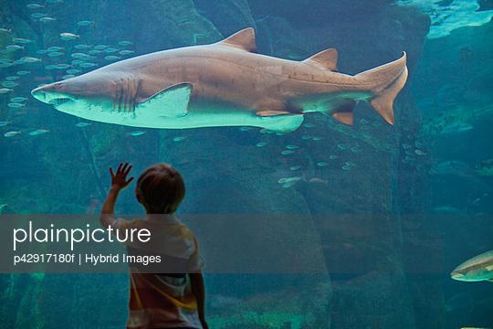 Boy admiring shark in aquarium - p42917180f by Hybrid Images