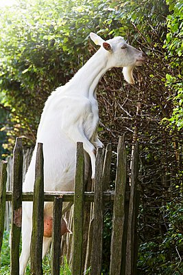 White goat next to wooden fence - p1183m997718 by Vedder, Catja