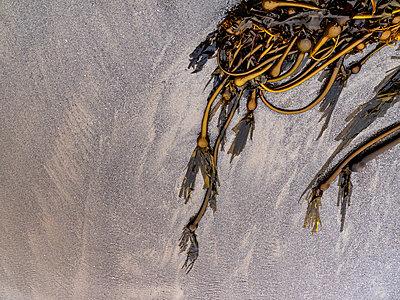 Detail of golden seaweed resting in wet sand by the ocean - p1166m2137339 by Cavan Images