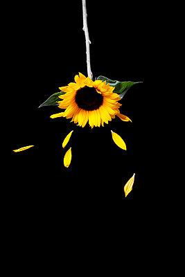 Sonnenblume vor schwarzem Hintergrund - p1248m2297494 von miguel sobreira