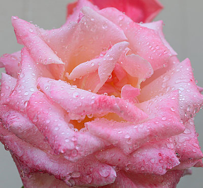 Rose - p1459m1516403 by Zoe Space