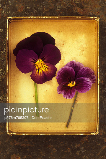 Two pansies in box - p378m795307 by Den Reader