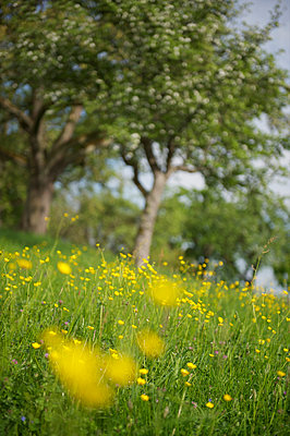 Meadow with dandelions - p819m893491 by Kniel Mess