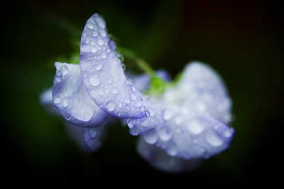 Sweet pea flower covered in raindrops - p1047m1090526 by Sally Mundy