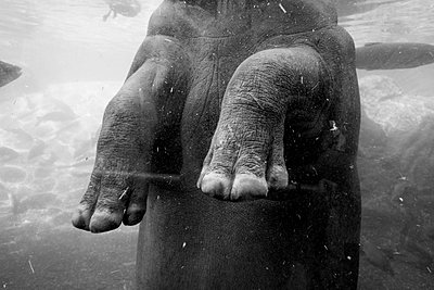 Elephant standing in water - p1189m1218644 by Adnan Arnaout