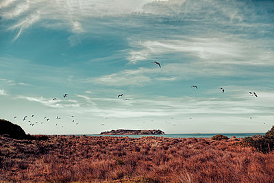 Birds flying over tussocks by Victor Harbor, South Australia, Australia - p1427m2135994 by WalkerPod Images