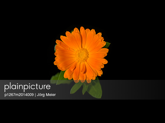 Marigold - p1267m2014009 by Wolf Meier