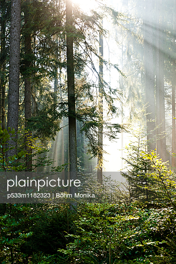 Sonnenstrahlen im Fichtenwald - p533m1182323 von Böhm Monika