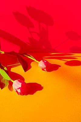 Tulpen werfen Schatten an die Wand - p432m1539817 von mia takahara