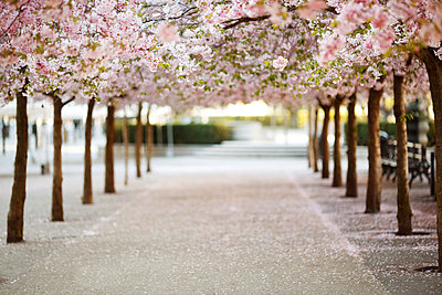 Peaceful view of an avenue with cherry blossom trees in rows - p1025m789147f by Fotograf Birgersdotter AB