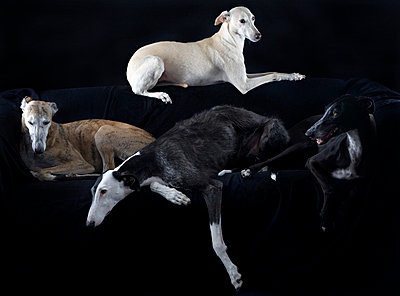 Spanish Galgos - p8690026 by Dombrowski