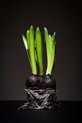 Hyacinths - p1149m1208340 by Yvonne Röder