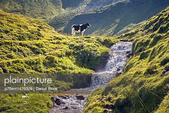 Kuh am Bergbach - p704m1476009 von Daniel Roos