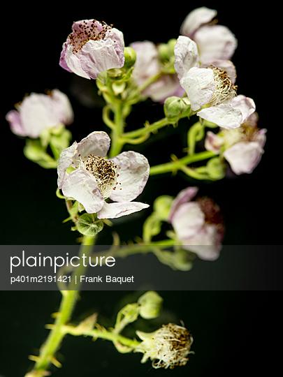 Blackberry Blossoms - p401m2191421 by Frank Baquet