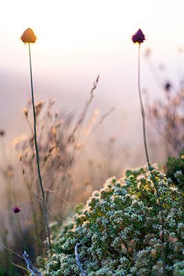 Spain, Catalonia, Grasses on Montcau at sunset - p300m2012326 von VITTA GALLERY