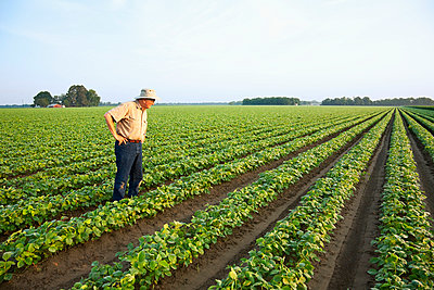 Agriculture - A farmer (grower) walks through his field inspecting his early growth crop of twin row soybeans, with two rows per bed, in early morning light / near England, Arkansas, USA. - p442m961440 by Bill Barksdale
