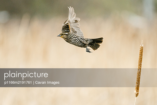Side view of a sparrow taking flight from a cattail in a pond - p1166m2191761 by Cavan Images