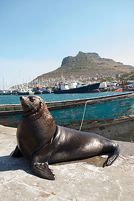 Seehund am Hafen - p045m1362805 von Jasmin Sander