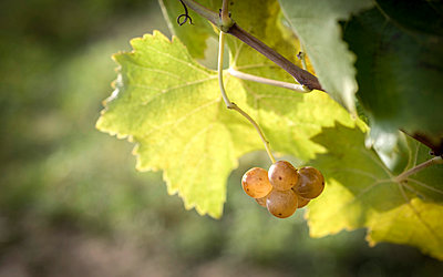 Close-up of grapes growing on plant during autumn in vineyard - p1166m2060663 by Cavan Social