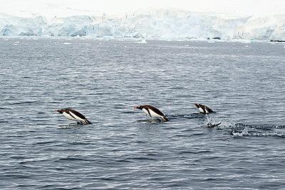 Gentoo penguins (pygoscelis papua) in the water; antarctica - p442m719133f by Jim Julien