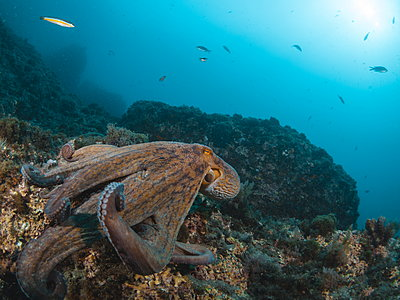 Octopus vulgaris - p1166m2130278 by Cavan Images