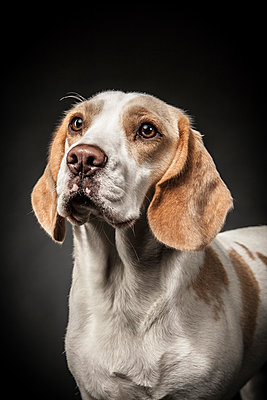 Beagle - p403m937628 by Helge Sauber