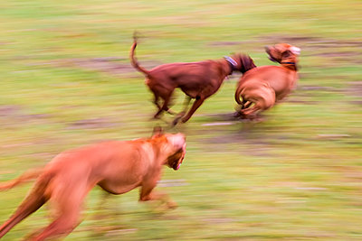 Tobende Hunde - p739m1083251 von Baertels
