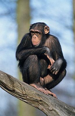Schimpanse - p3300408 von Harald Braun