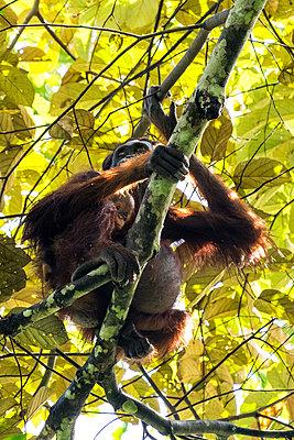 Orang Utan auf einem Baum - p842m1558881 von Renée Del Missier