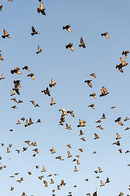 Vogelschwarm - p949m948562 von Frauke Schumann