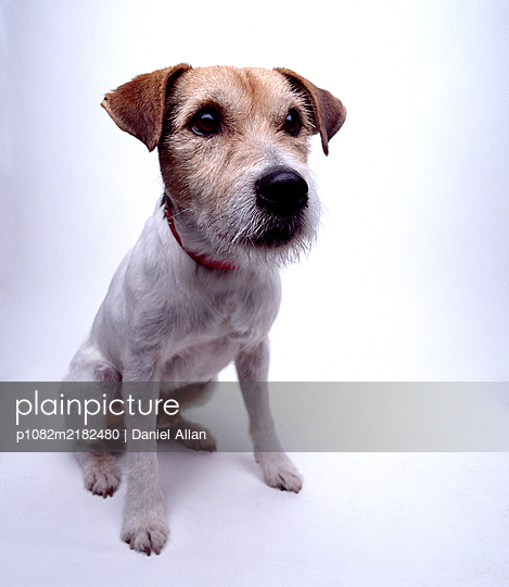 Terrier, Portrait - p1082m2182480 by Daniel Allan