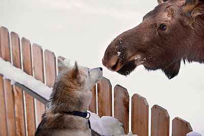 Siberian Husky And A Moose Calf Nose To Nose Over A Picket Fence, Wasilla, Southcentral Alaska, Winter - p442m838159 by Michael Criss
