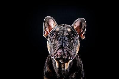 Hundeportrait - p713m2122312 von Florian Kresse