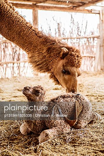 Kamelmutter und Kind - p1319m1525338 von Christian A. Werner