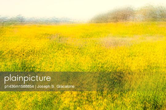 Feld mit Kalifornischen Nationalblumen - p1436m1588854 von Joseph S. Giacalone