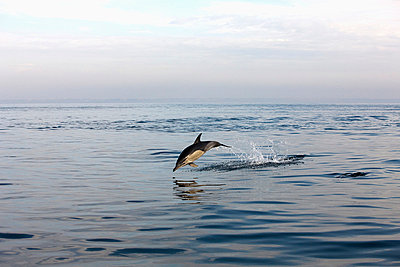 Dolphin Jumping In Water  - p1014m745803 by Jeff Hornbaker