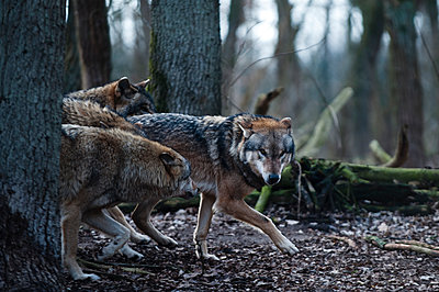 Wolves in animal park - p1046m1045309 by Moritz Küstner