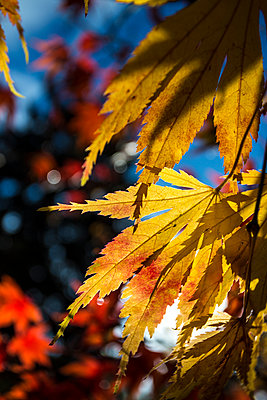 Autumn leaves in the sunshine - p1057m1496677 by Stephen Shepherd