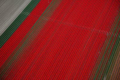Tulip blooming season - p1120m899964 by Siebe Swart