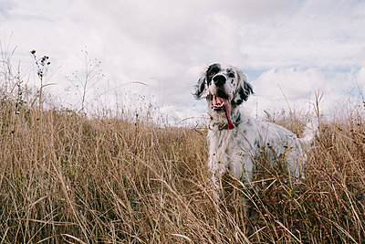 White dog breed english setter is standing in field - p1363m1491699 by Valery Skurydin