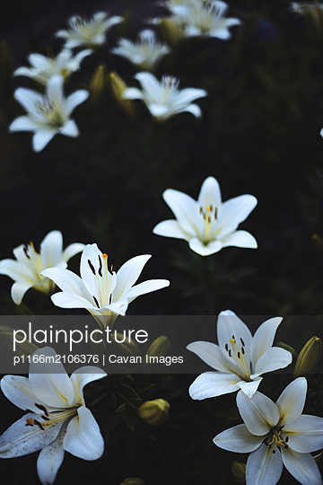 White lilium in bloom in sunset light. - p1166m2106376 by Cavan Images