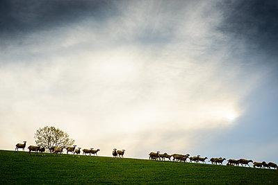 Flock of sheep - p829m2295683 by Régis Domergue