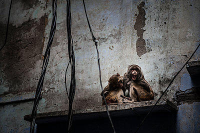 Two monkeys on a wall - p1007m1144309 by Tilby Vattard