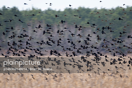 Hundreds of blackbirds lifting off from a field - p1480m2148214 by Brian W. Downs