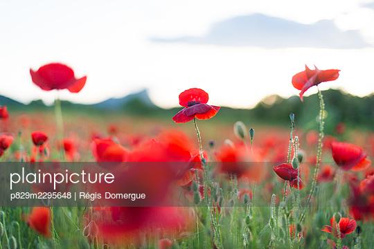 Poppy field - p829m2295648 by Régis Domergue
