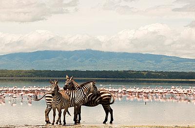 National park in Kenia - p5330298 by Böhm Monika