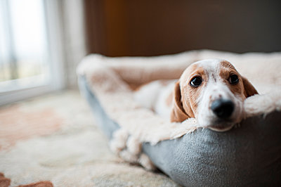 Wiener puppy laying in dog bed at home - p1166m2137727 by Cavan Images