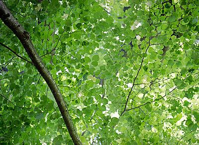 Blätterdach - p6060255 von Iris Friedrich