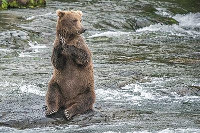 Brown Bear Sits on Hind Legs on Rock in River, Katmai Alaska - p1166m2147355 by Cavan Images
