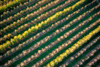 An aerial view of patterns created by an apple orchard. - p1424m1501115 by Harrison Shull